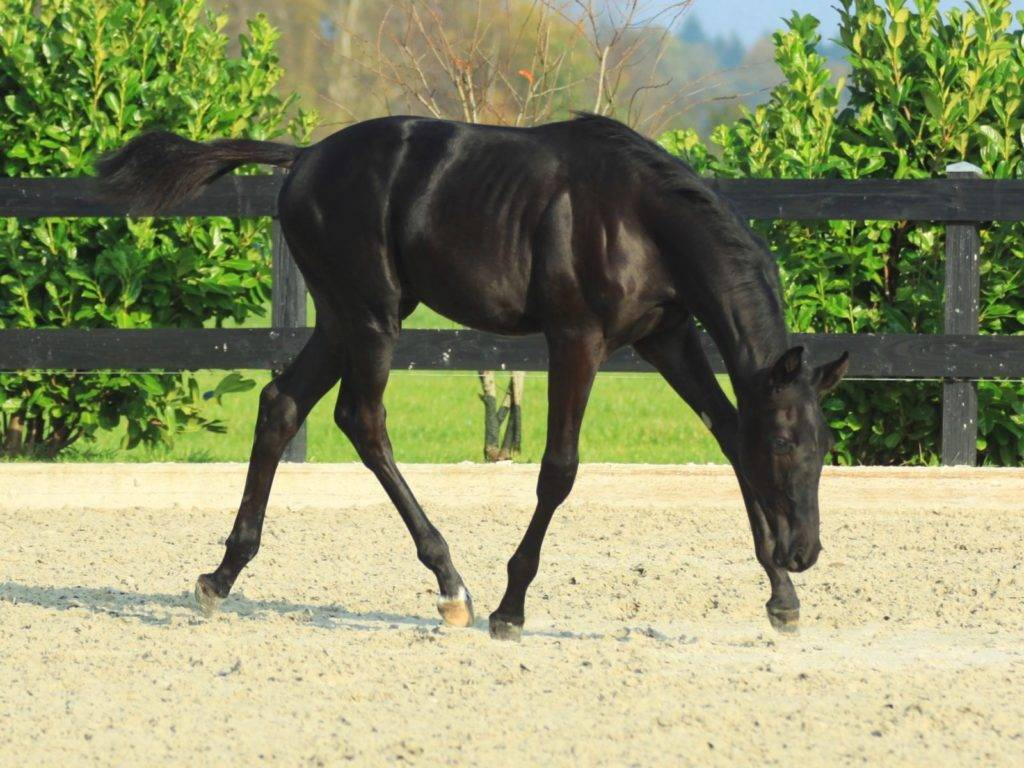 Black Dressage Young Horse for Sale South Africa