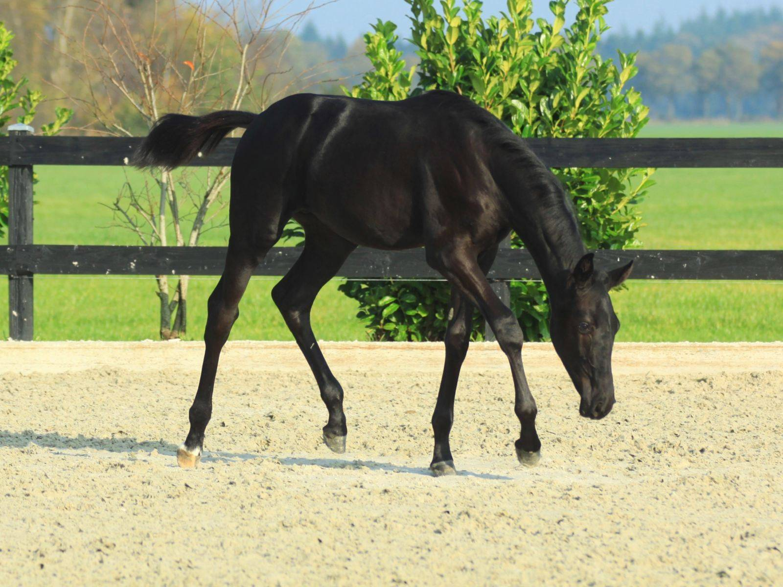 Black Dressage Foals for Sale South Africa