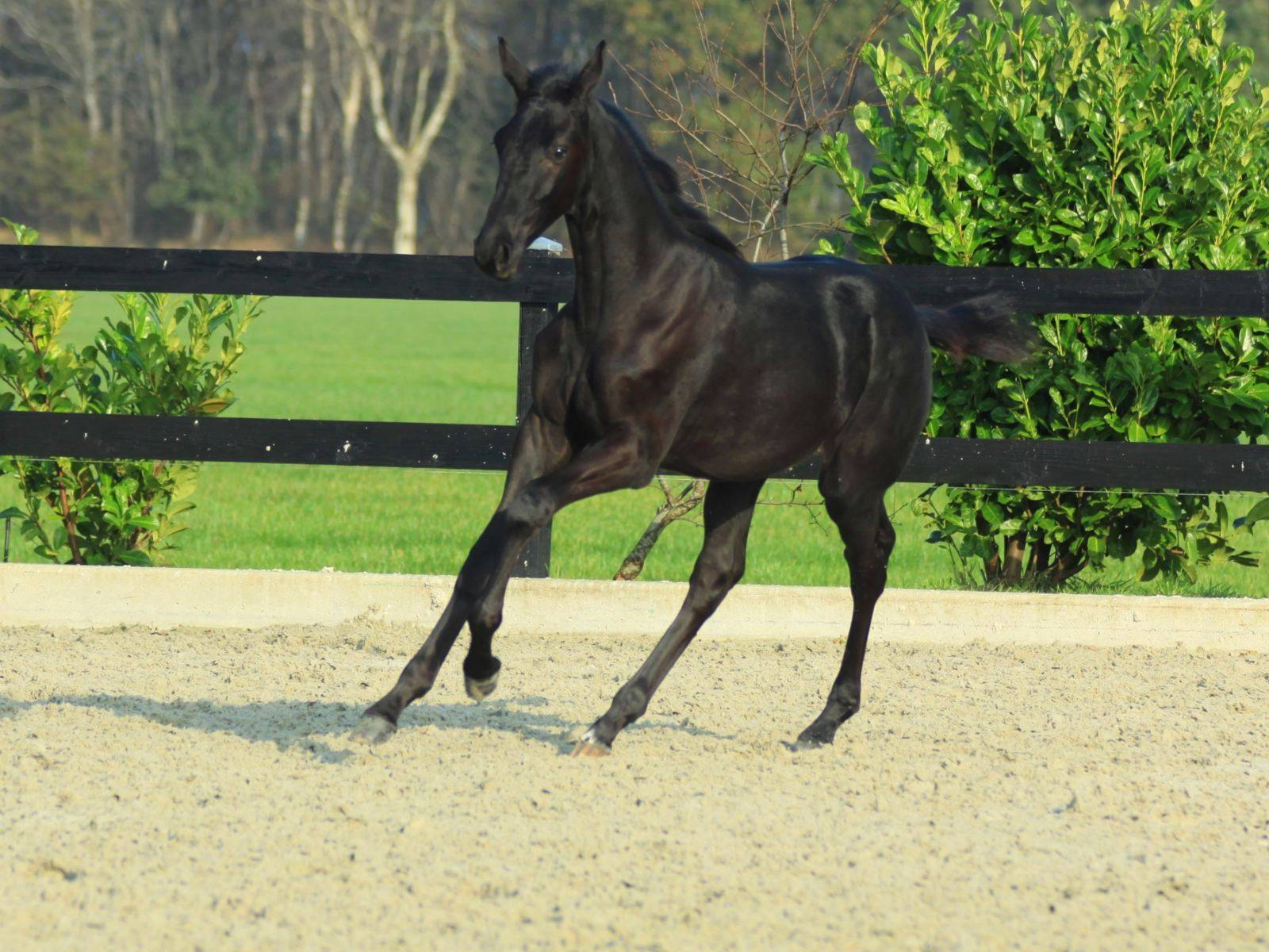 Black Colt Foal for Sale South Africa