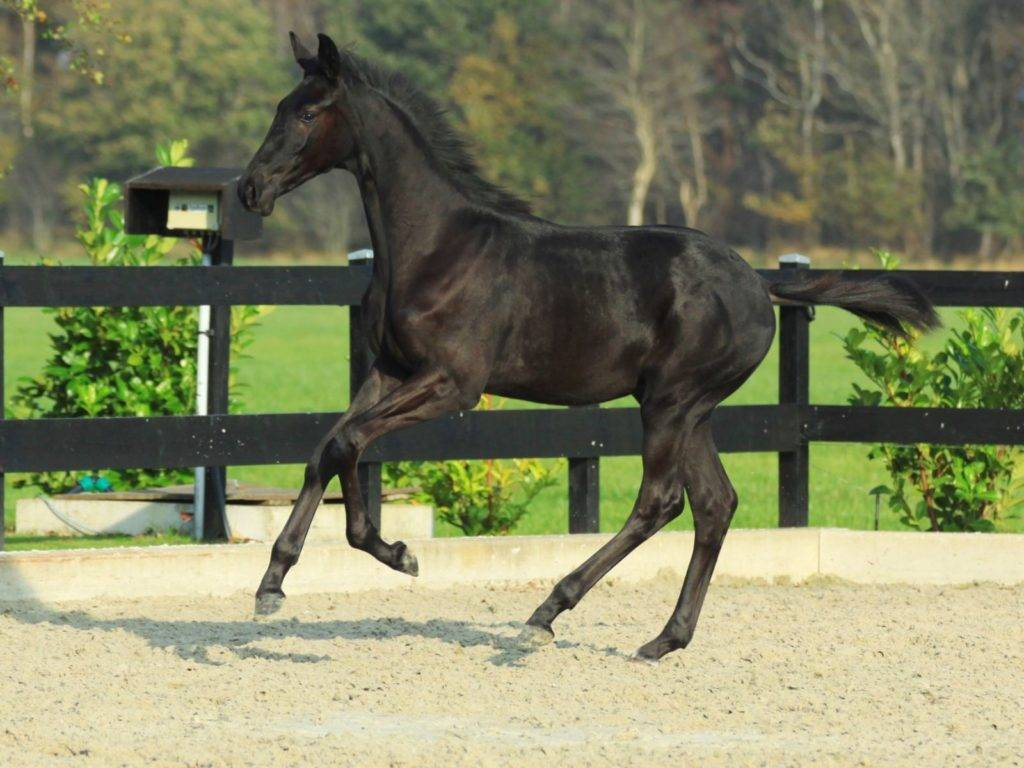 Warmblood Dressage Horses for Sale South Africa