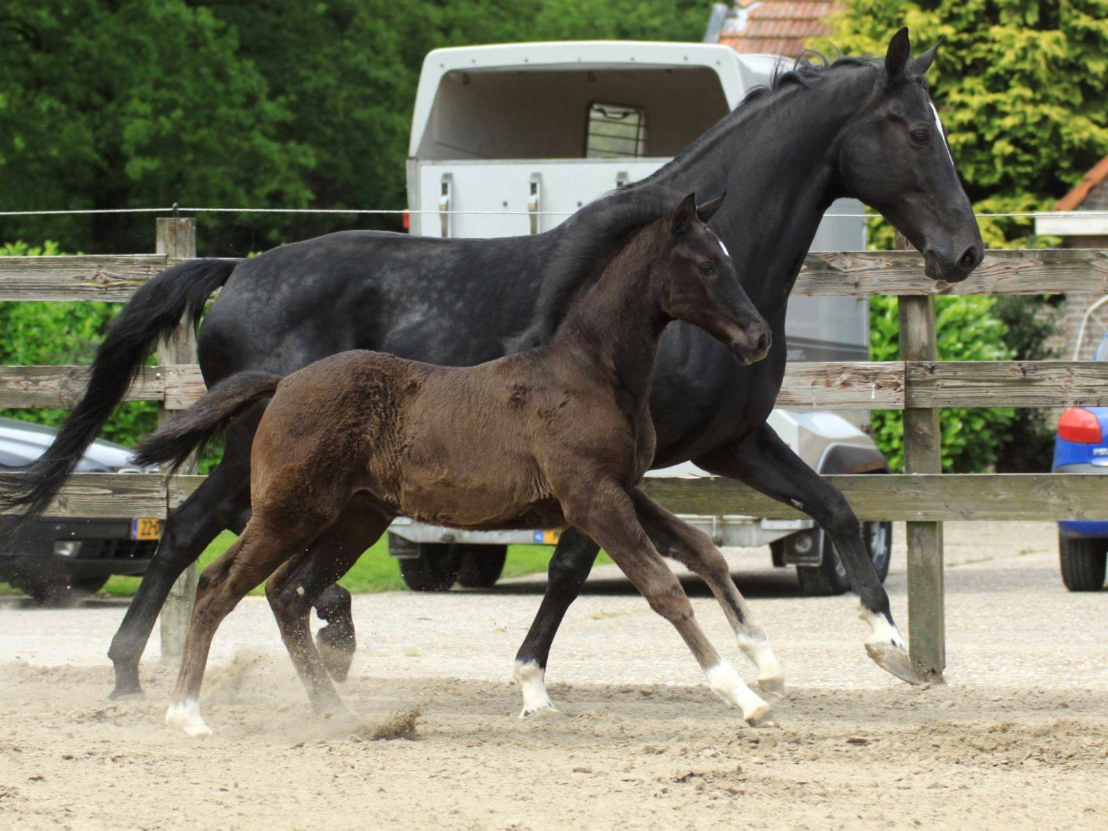Foal for Sale in Chile