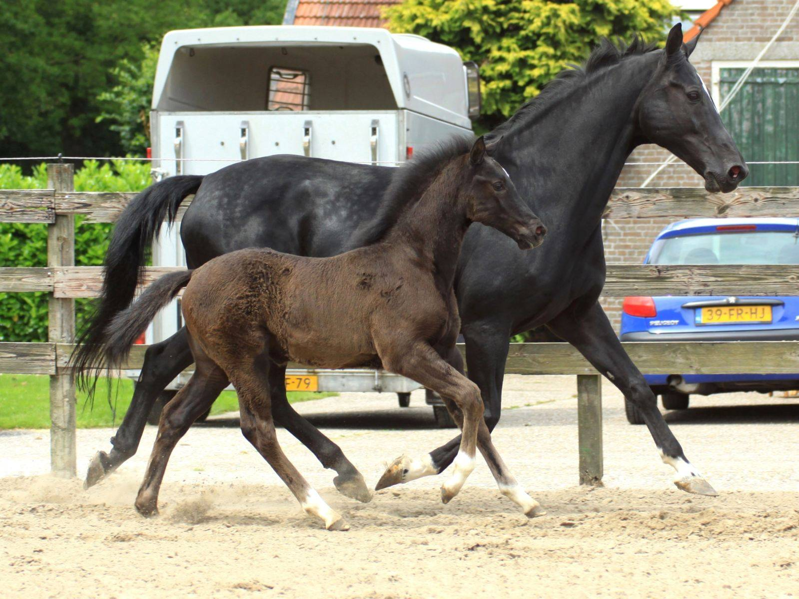 Dressage Foal for Sale in Chile