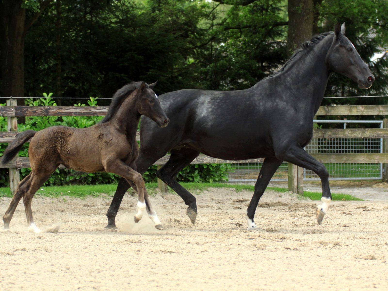 Young Mare for Sale in Chile