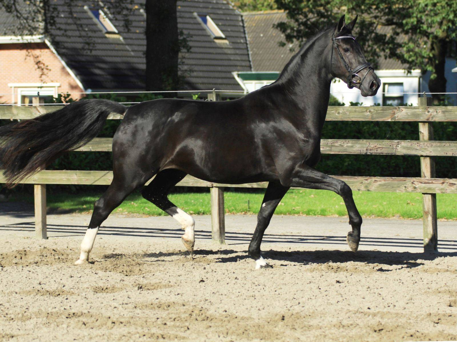 British Dressage Horses For Sale UK