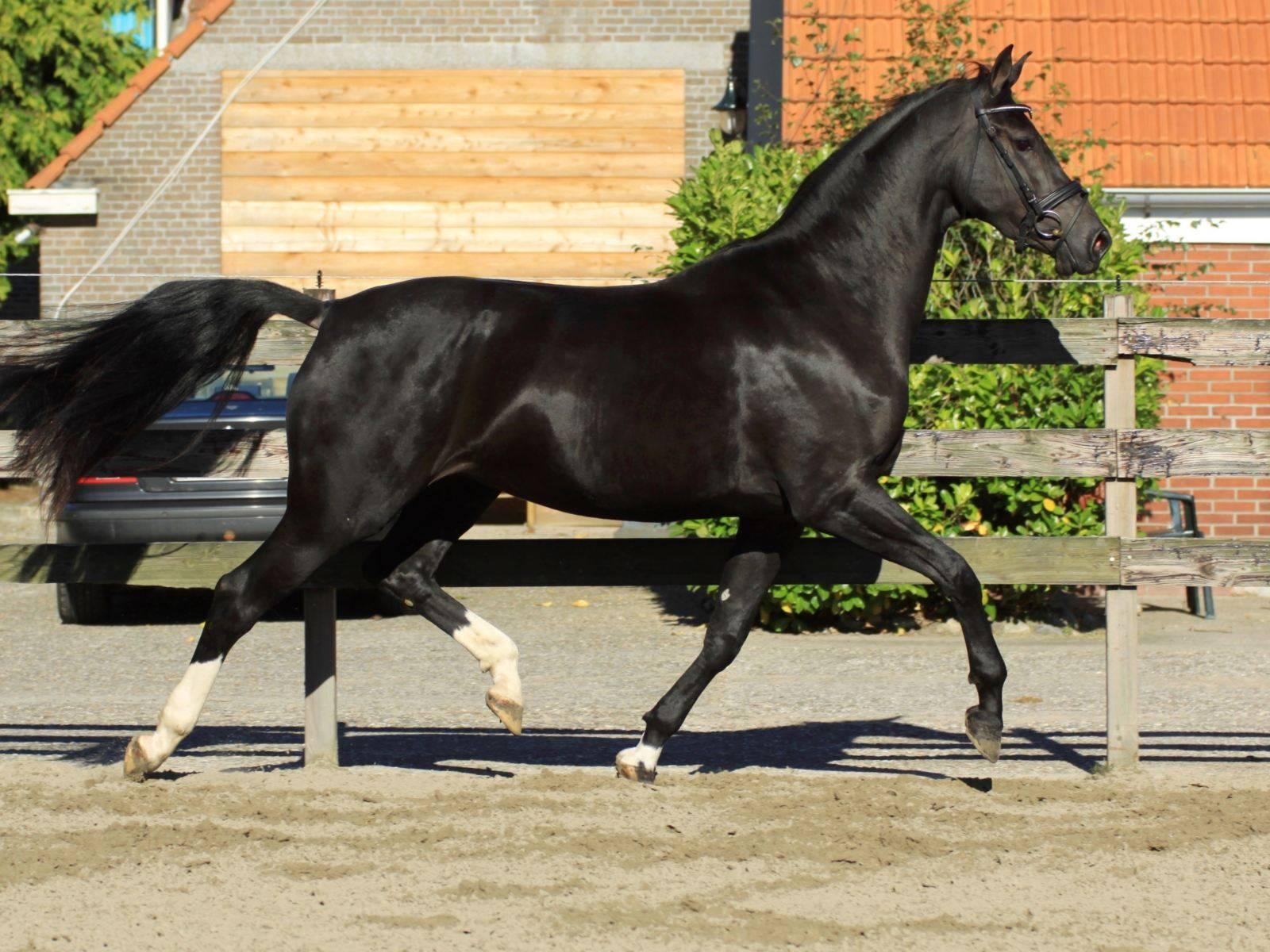Warmblood Dressage Mares for Sale UK