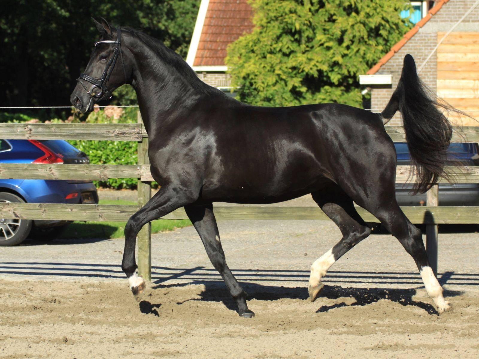 Warmblood British Dressage Horses For Sale