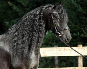 Dutch Horses Mare