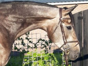 Jumping Mare For Sale Zirocco Blue