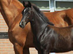 glamourdale foals for sale