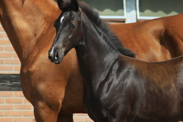 glamourdale foals for sale