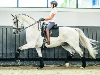 Grand Prix Dressage Gelding For Sale