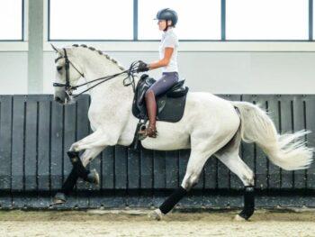 Grand Prix Dressage horse for sale